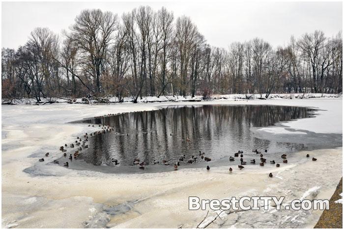 Зимовка птиц на реке. Лебеди и утки