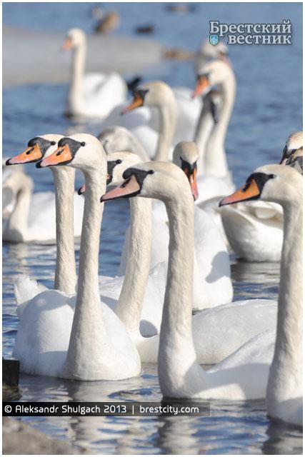 Лебеди на Набережной Бреста